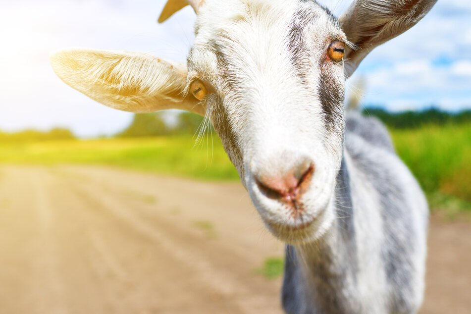 Woman faces felony charge for unleashing her inner Picasso on neighbor's goat