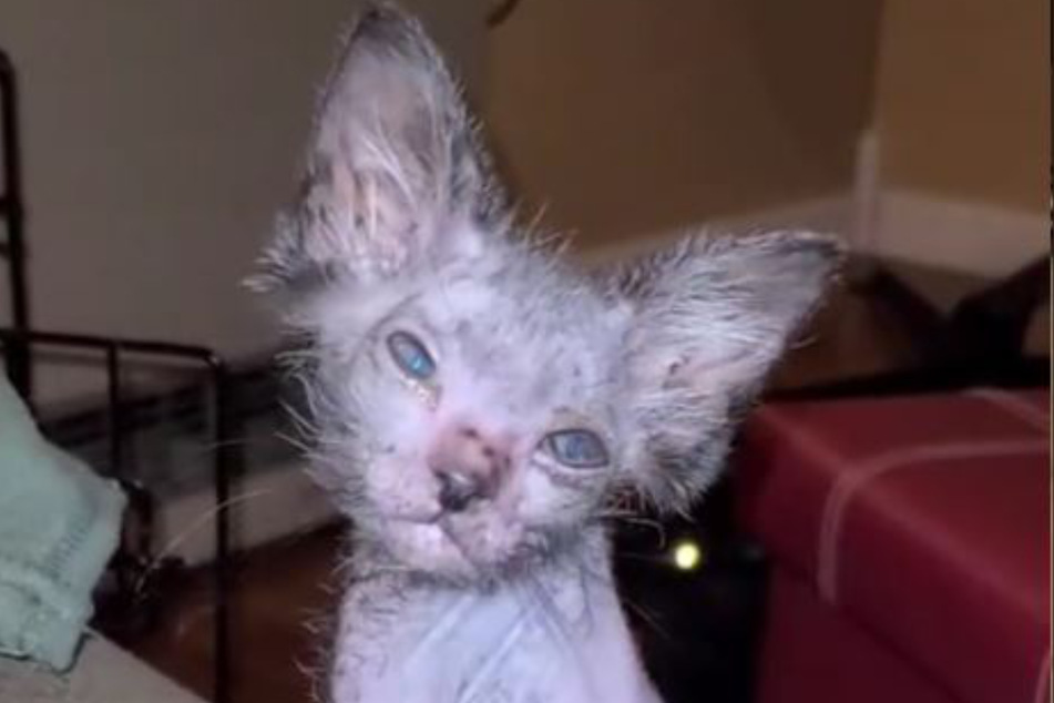 Gracie turned out to be a very rare werewolf cat.