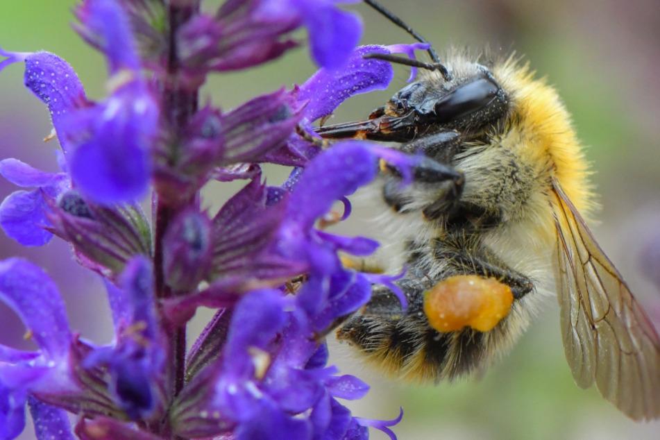 Insektenzählung in Sachsen: Dieser Brummer belegt den Spitzenplatz