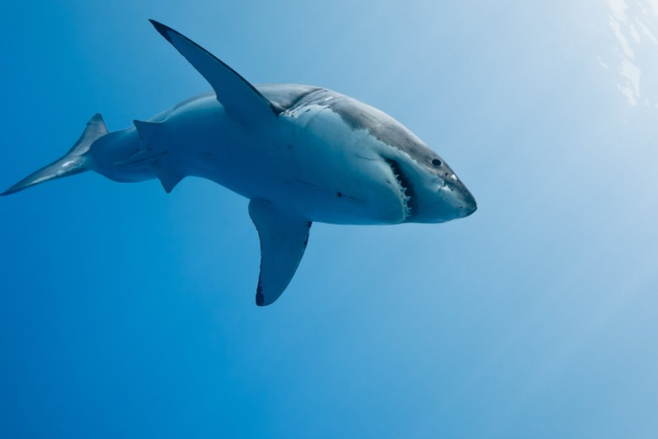 Seven people have already been killed in shark attacks in Australia (stock image).