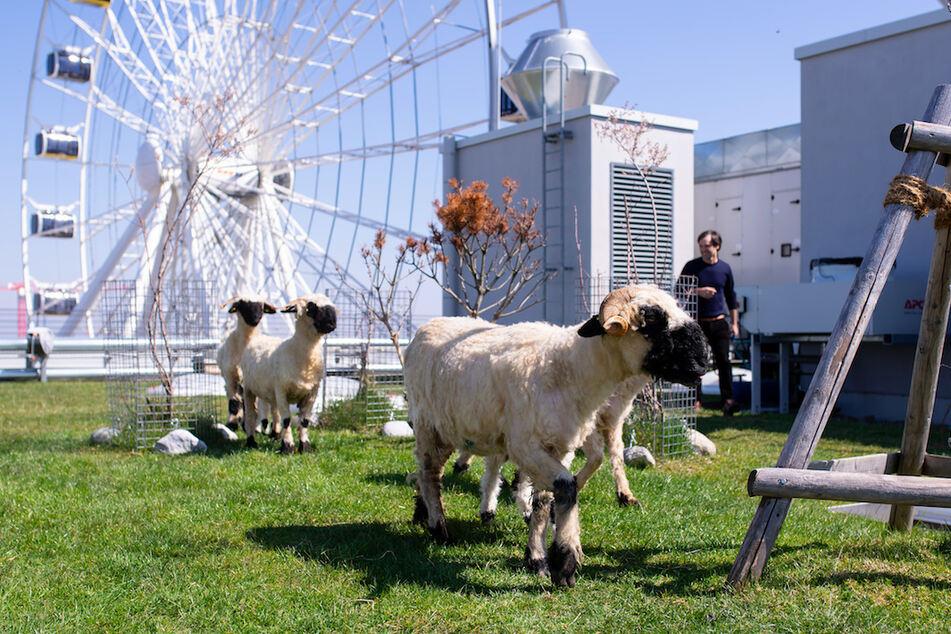 Die Schafe grasen im Münchner Werksviertel auf dem Dach des Hochhauses Werk3.