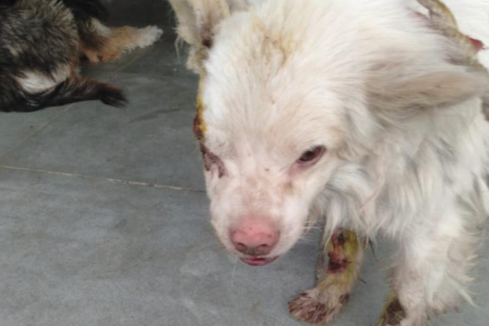 Der arme Hund sah nach der Tortur schlimm aus.