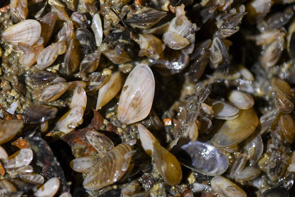 Auch die im Bodensee wachsenden Quagga-Muscheln wurden eingeschleppt und werden zum Problem. (Archivbild)