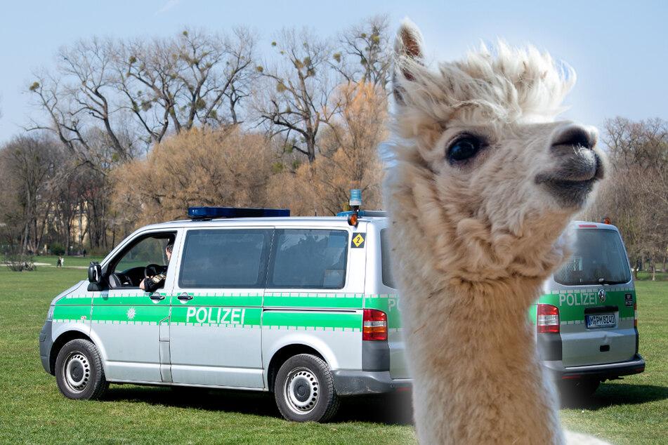 Mit Alpakas im Englischen Garten? Kurioser Vorschlag für Münchner Polizei