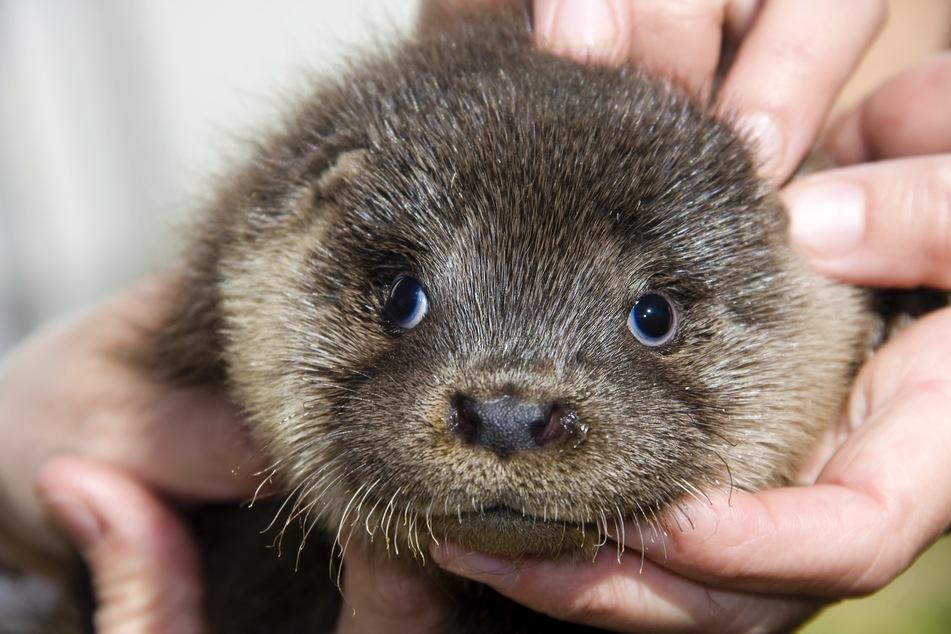 Otters in Atlanta aquarium test positive for coronavirus