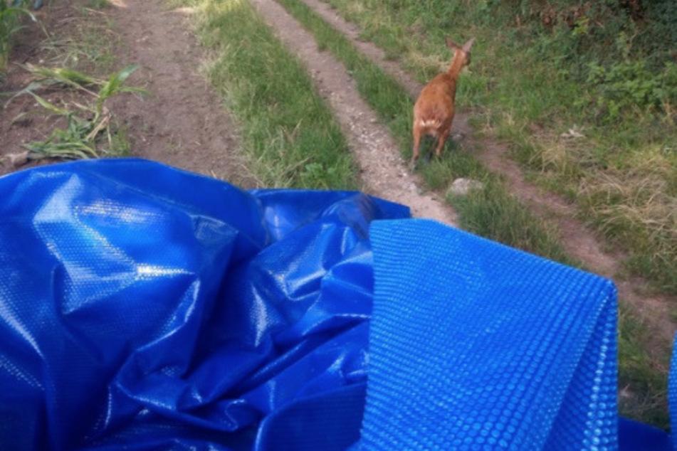 Die Kameraden der Feuerwehr trugen das Reh mit der Plane zu einem Feld. Von dort konnte das Tier zurück in die Wildnis laufen.
