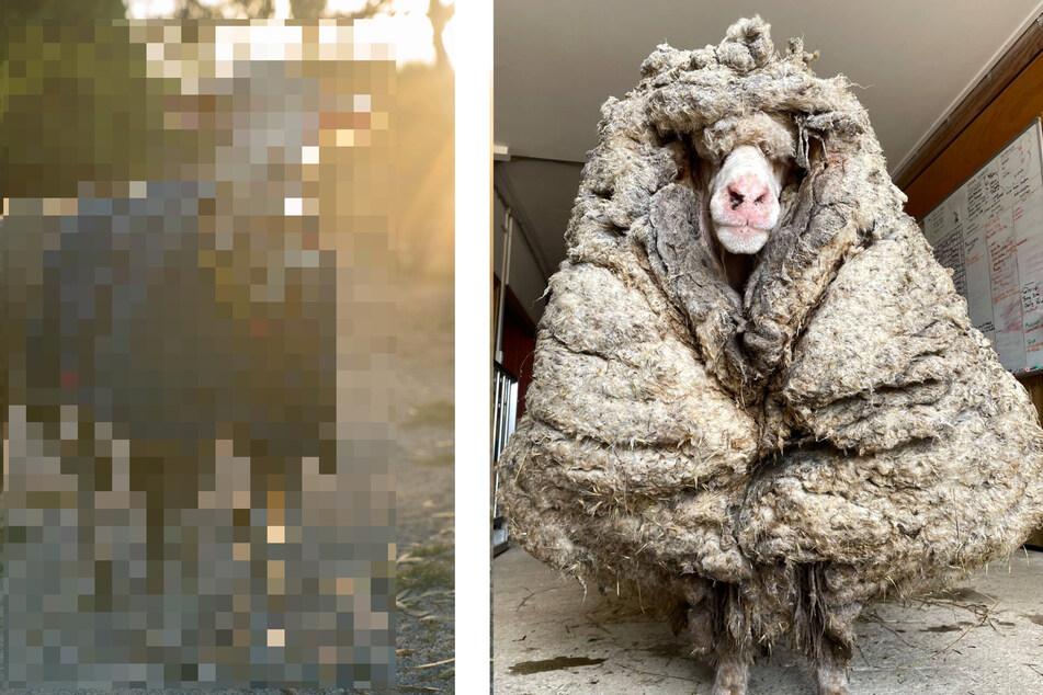 Schaf mit 35 Kilo verfilzter Wolle geschoren: So sieht es jetzt aus!