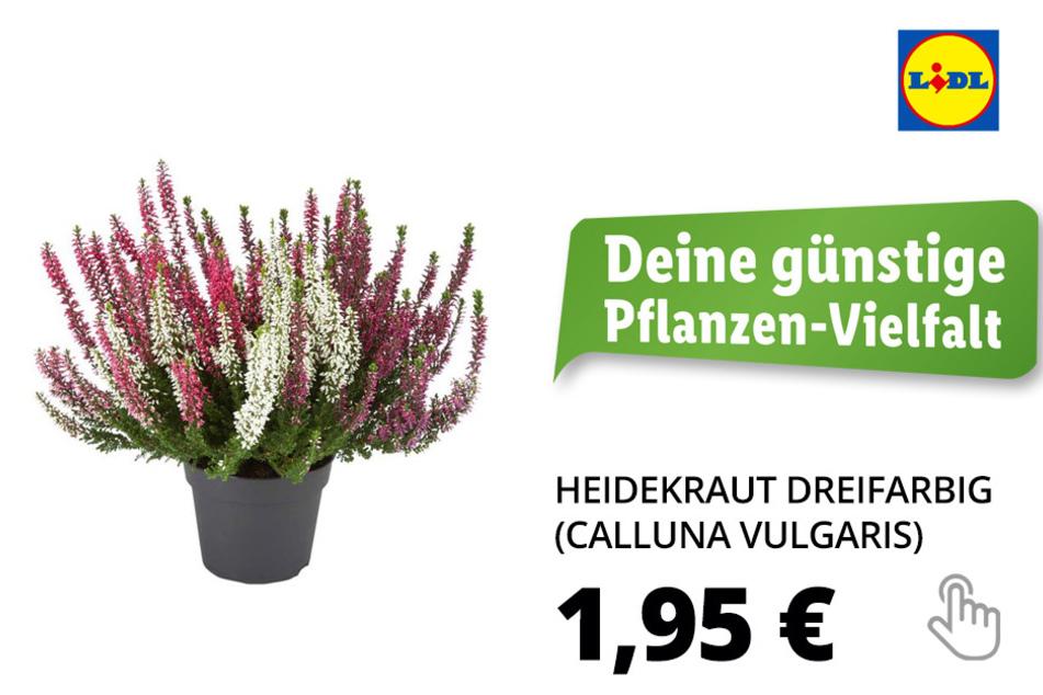 Heidekraut, dreifarbig (Calluna vulgaris)