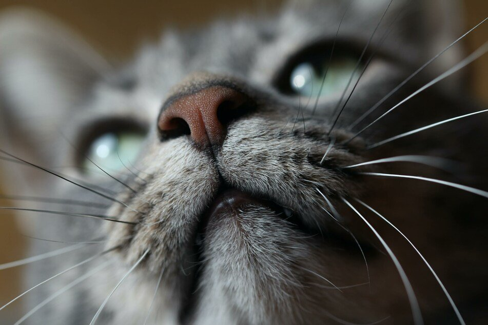A cat's nose is particularly sensitive to intense odors.