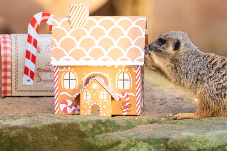 Süß! So feiern die Tiere im Zoo Hannover Weihnachten