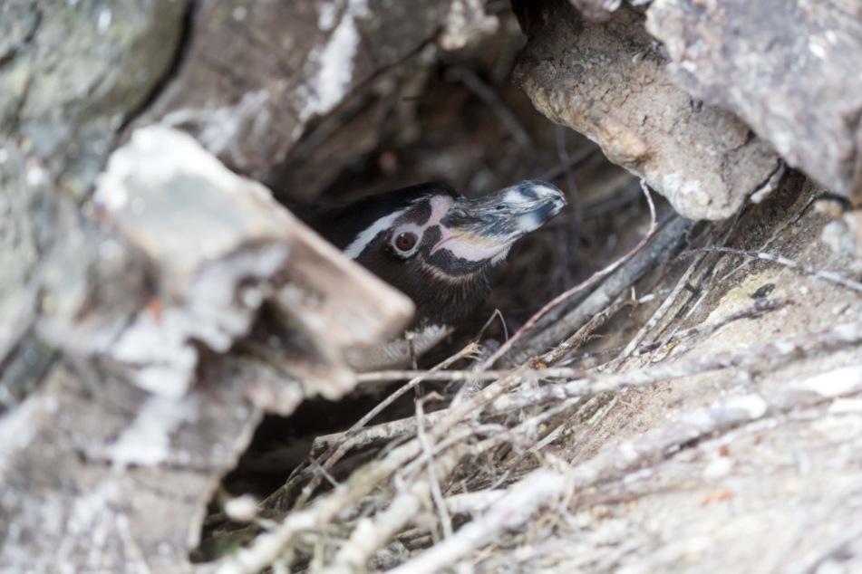 In geschützen Bruthöhlen (wie hier im Tierpark Limbach-Oberfrohna) werden die Eier 38 Tage ausgebrütet.
