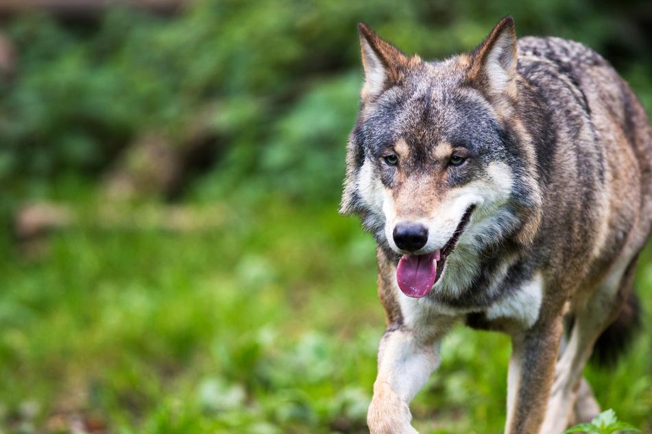 Wölfe: Wolfs-Rüde streift durch Hessen: Wird er auf sesshaftes Weibchen treffen?