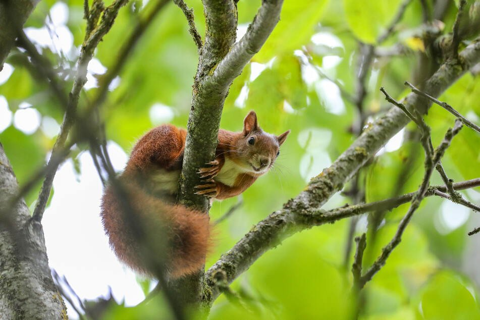 The bushy tailed rodents are great at climbing and are known for eating nuts.