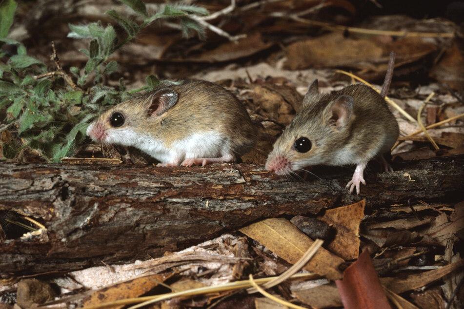 Durch die Einfuhr von Katzen gelten heute mehrere australische Mausarten als ausgestorben. Hier zu sehen: Die mit der Gould-Maus verwandte Kleine Australienmaus.
