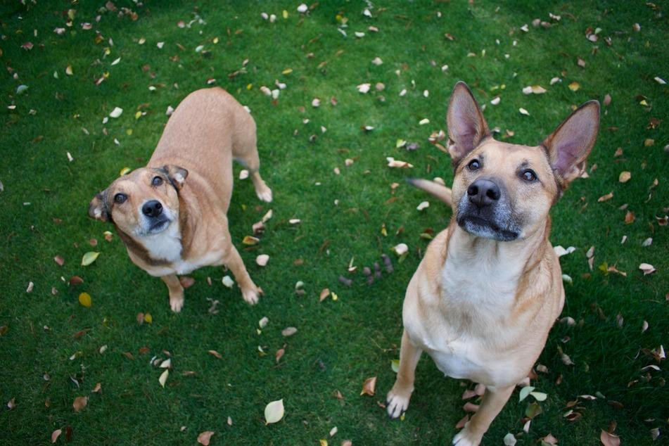 Bei Spaziergängen auf neutralem Boden können sich die Hunde zu Beginn in Ruhe kennenlernen.