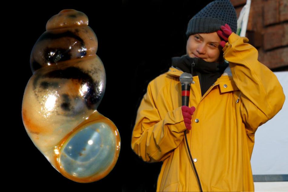 Forscher der Universität Greifswald haben eine neue Schneckenart nach der schwedischen Klimaaktivistin Greta Thunberg (18) benannt.