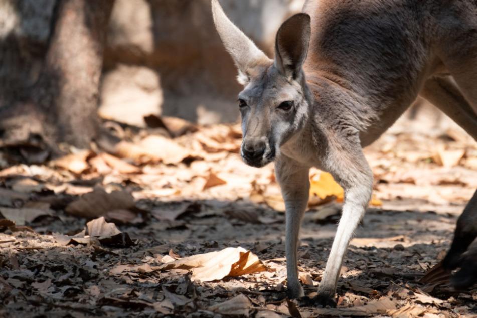 Mann entdeckt Känguru in Vorgarten: Dann eskaliert die Situation