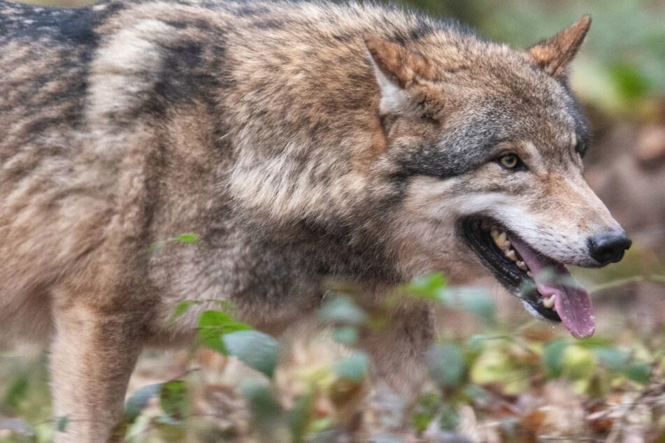 Wölfe: Wölfe erobern Hessen: Kann so Zusammenleben mit den Menschen gelingen?