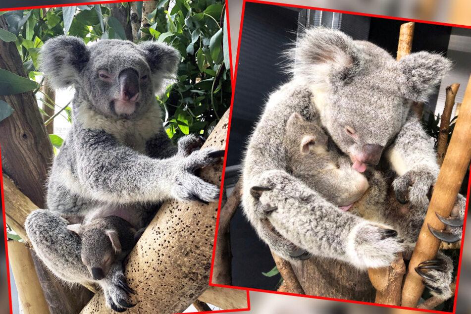 Kuschelalarm im Leipziger Zoo! Koala-Baby traut sich aus Beutel heraus