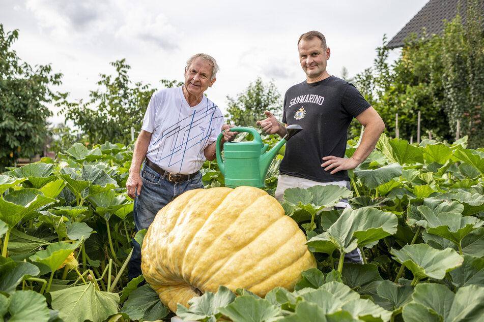 Den Riesenkürbis gießt Rainer Drechsler (75) gemeinsam mit Sohn Kay (44) mit bis zu 300 Liter Wasser täglich. Die Pflanze hat sich auf 30 Quadratmeter ausgebreitet.