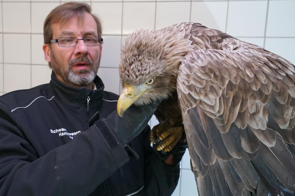 Schwanenvater Olaf Nieß kümmert sich um den verletzten Seeadler.