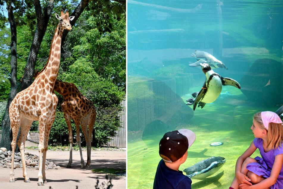 Die Giraffen mögen allzu hohe Temperaturen auch nicht gern und für die Pinguine wird das Wasser auf angenehme 17 Grad heruntergekühlt.