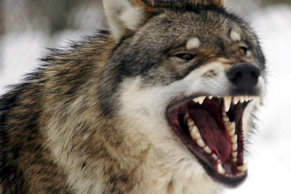 Erstmals ist in Deutschland ein Wolf aus der Population Südosteuropas nachgewiesen worden. (Symbolbild)