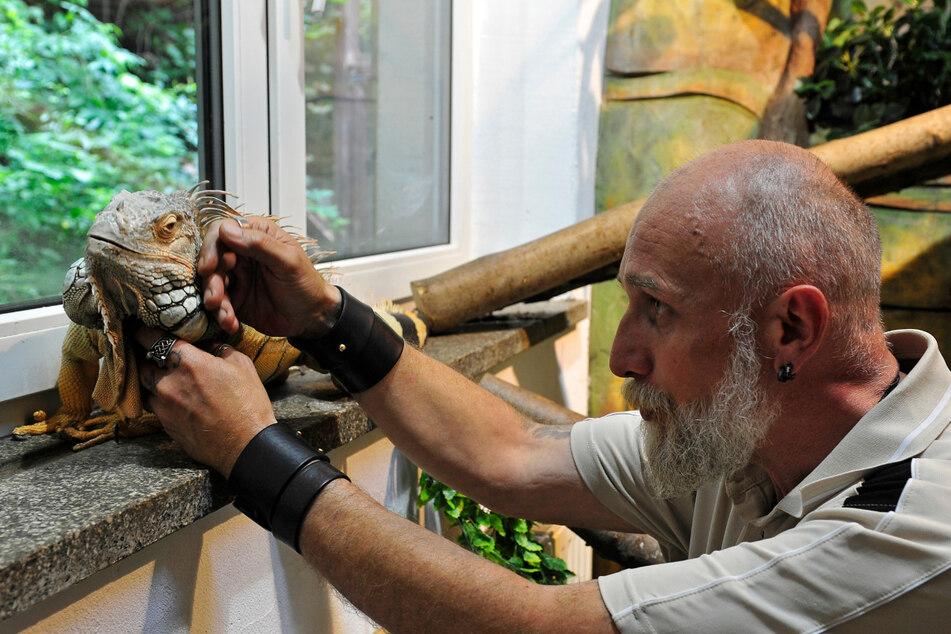 """Leguan """"Fritz"""" lässt sich gern von Tierpark-Leiter Tino Richter (53) kraulen."""
