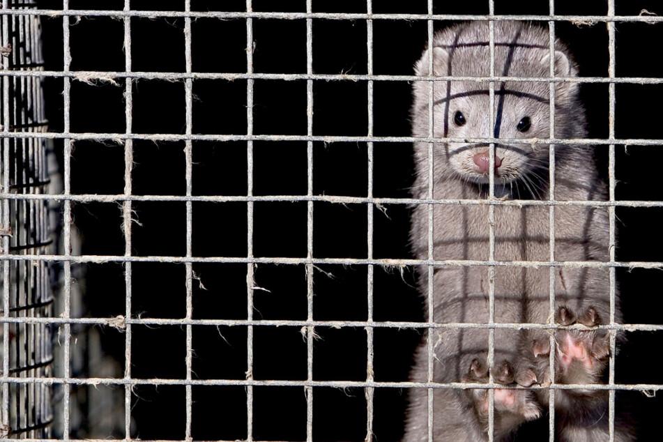 Zur Pelzproduktionen werden Nerze in Käfigen gehalten, wie hier in China. (Archivbild)