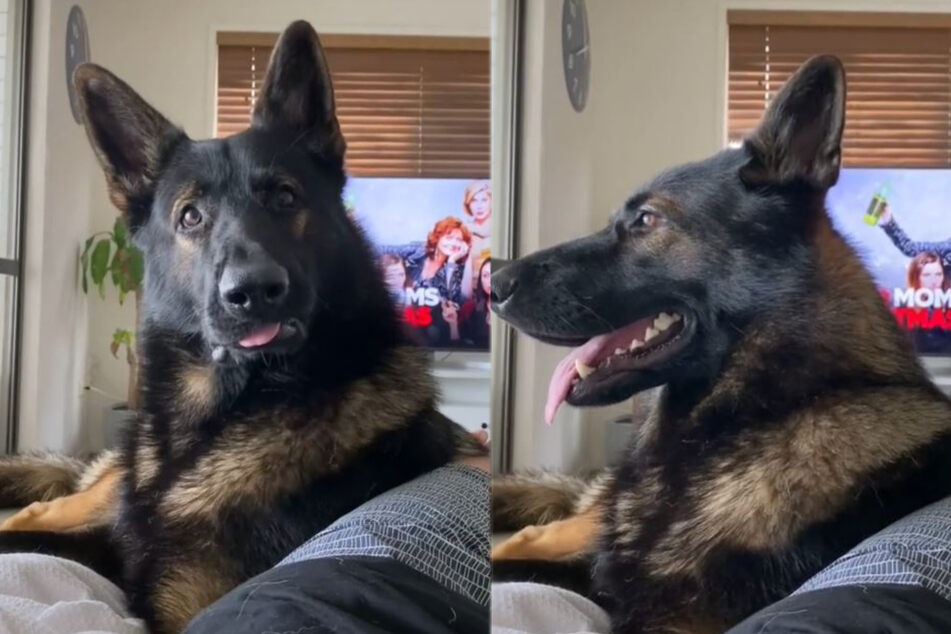 Ex-police dog gets hilariously triggered by one word!