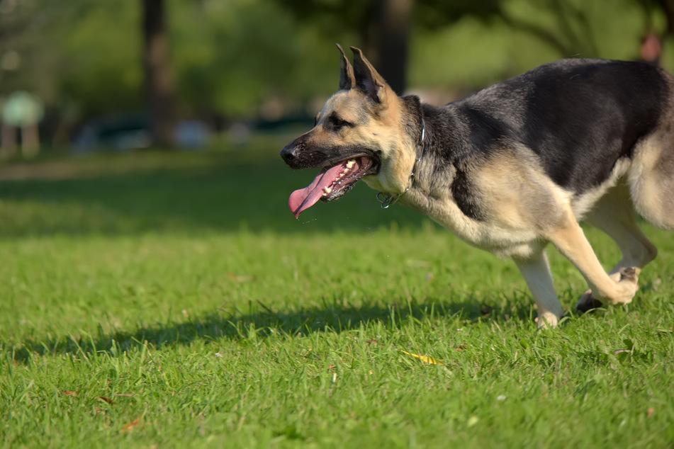 Schäferhund attackiert 20-Jährigen und beißt ihm in den Arm