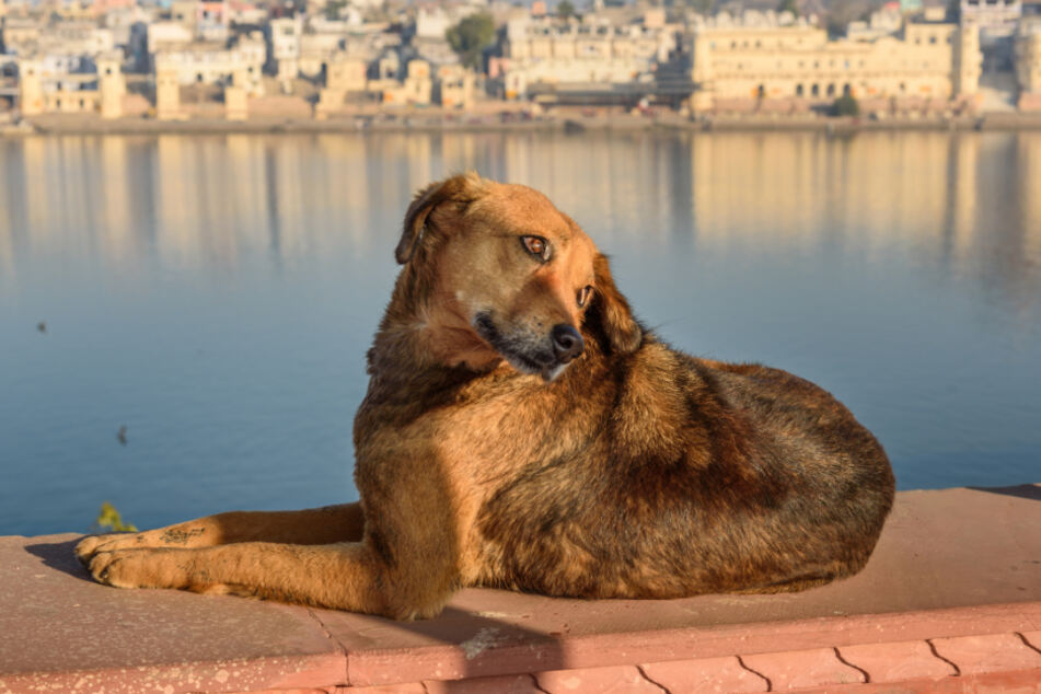 A dog on the pier of the Pushkar-lake in Rajasthan.