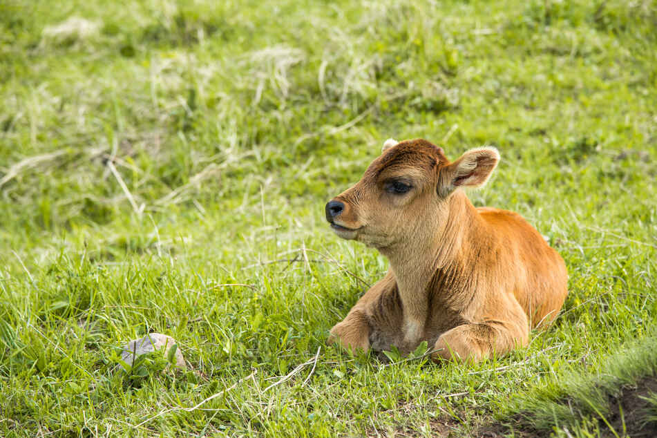Fortunately, the little brown cow was unharmed (stock image).