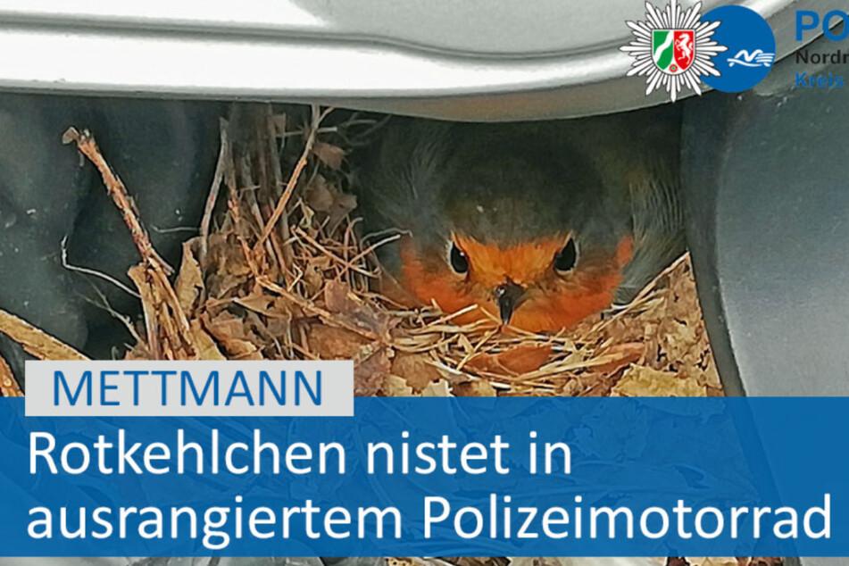 Ein Rotkehlchen hat sich in einem alten Polizeimotorrad ein Nest gebaut und damit einen Strich durch die Verkaufspläne gemacht.