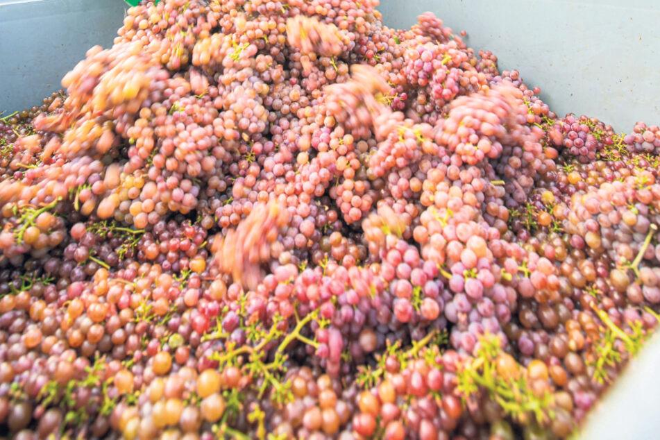 Wenig Trauben, aber 2020er Sachsenwein ist ein Fall für Sammler!