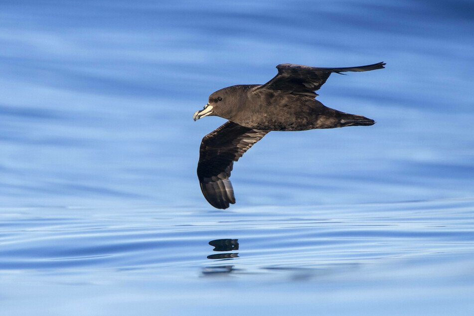 The Westland petrel is an endangered seabird species native to New Zealand.