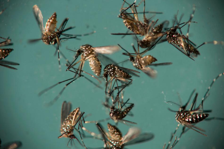 Bringt die Hitze tropische Krankheiten und Killer-Moskitos zu uns?