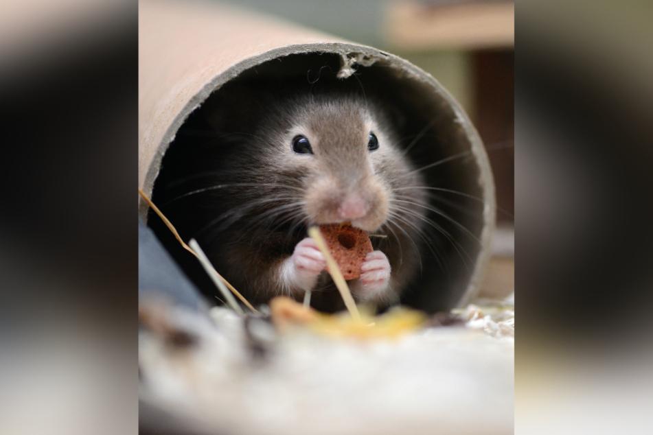 Ein Hamster knabbert in seinem Versteck an einer Leckerei.Das Coronavirus verleitet auch in Deutschland zu Hamsterkäufen. (Symbolbild)