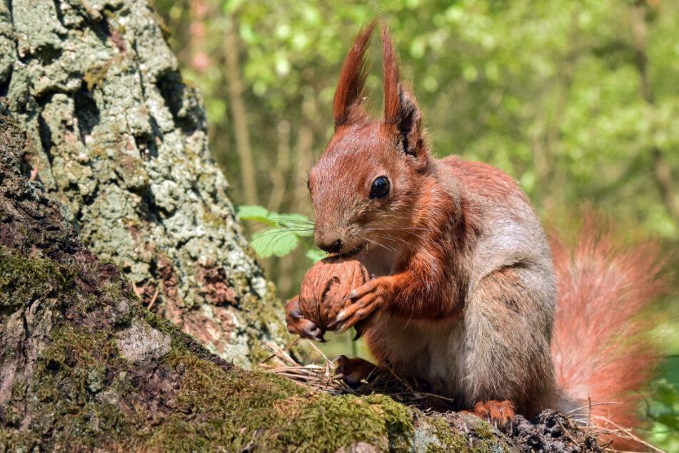 Dieses Eichhörnchen ist quicklebendig. Im Gegensatz zu seinen Artgenossen, die in Karlsruhe aufgehängt wurden. (Symbolbild)