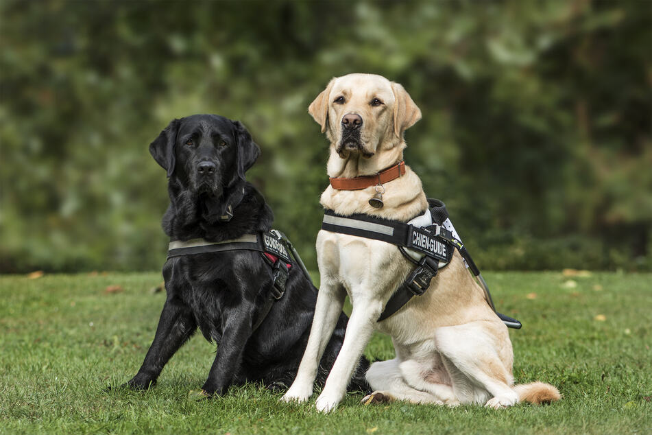 Harnesses are overall a safer choice for dogs, as they don't put stress on the neck, and when in the car, keep the dog restrained better (stock image).