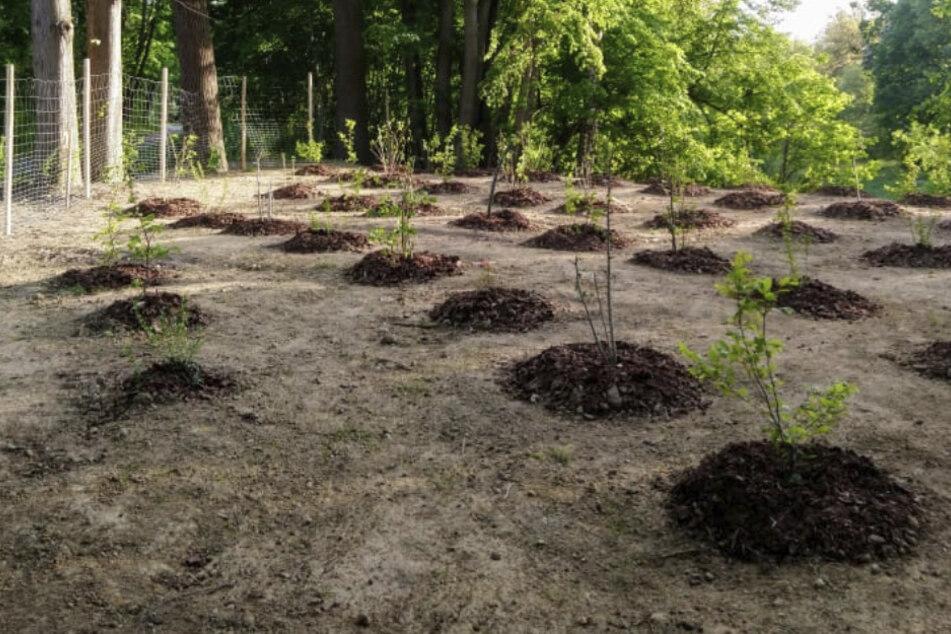 150 Bäume sollten eine ehemalige Müllkippe wieder begrünen.