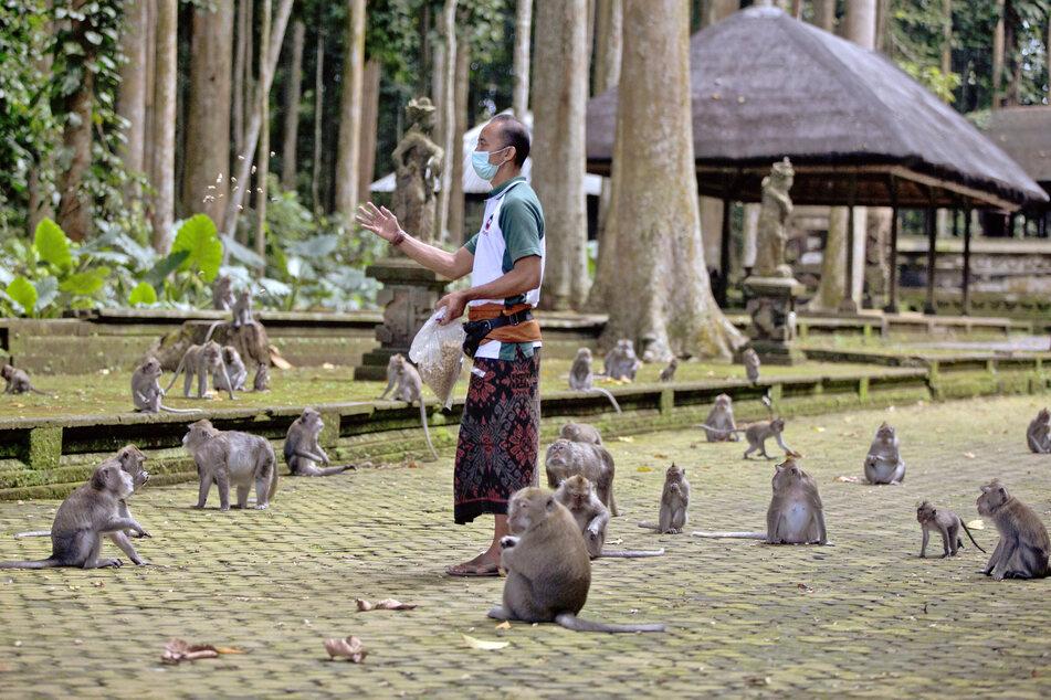 Made Mohon, Park-Manager des Sangeh Monkey Forest, füttert die Makaken mit gespendeten Erdnüssen.