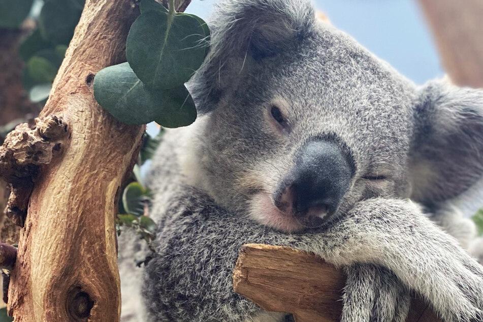 Vom Baby zum Teenager: Koala Bouddi nabelt sich von Mama Mandie ab