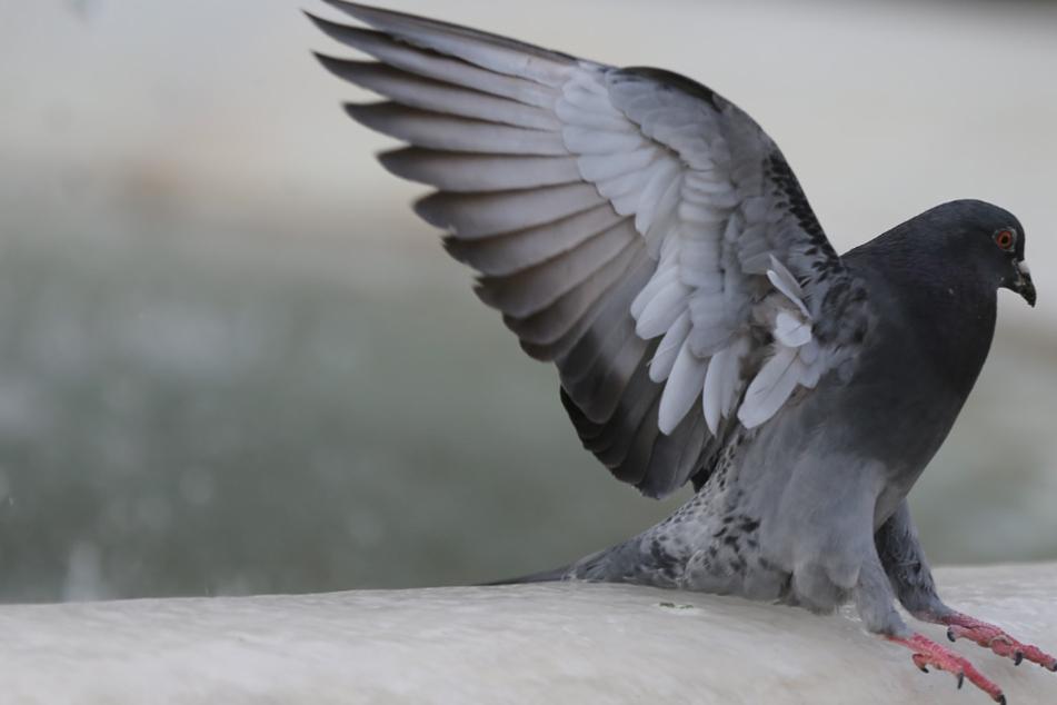 Eine Taube hat das Parlament in Belfast erheitert. (Symbolbild)