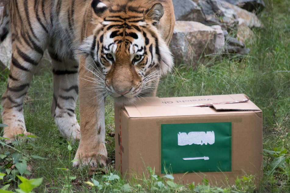 Der sibirische Tiger Wolodja begutachtet im Tierpark Chemnitz einen Karton.