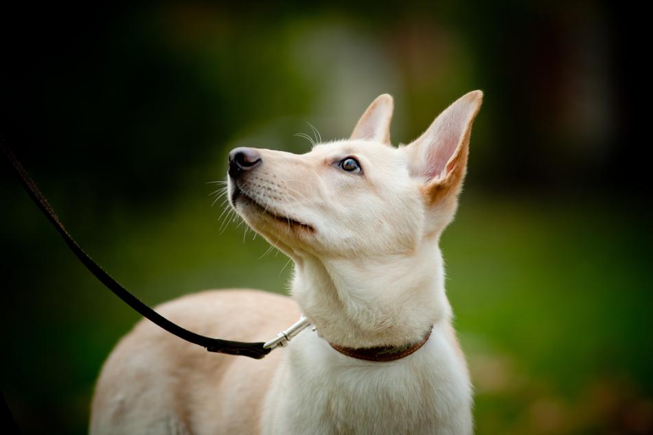 Für Hunde gilt in Sachsen-Anhalt ab Montag auch in Wäldern und auf Wiesen die Leinenpflicht. Wer sich nicht daran hält, begeht laut Umweltministerium eine Ordnungswidrigkeit. (Symbolbild)