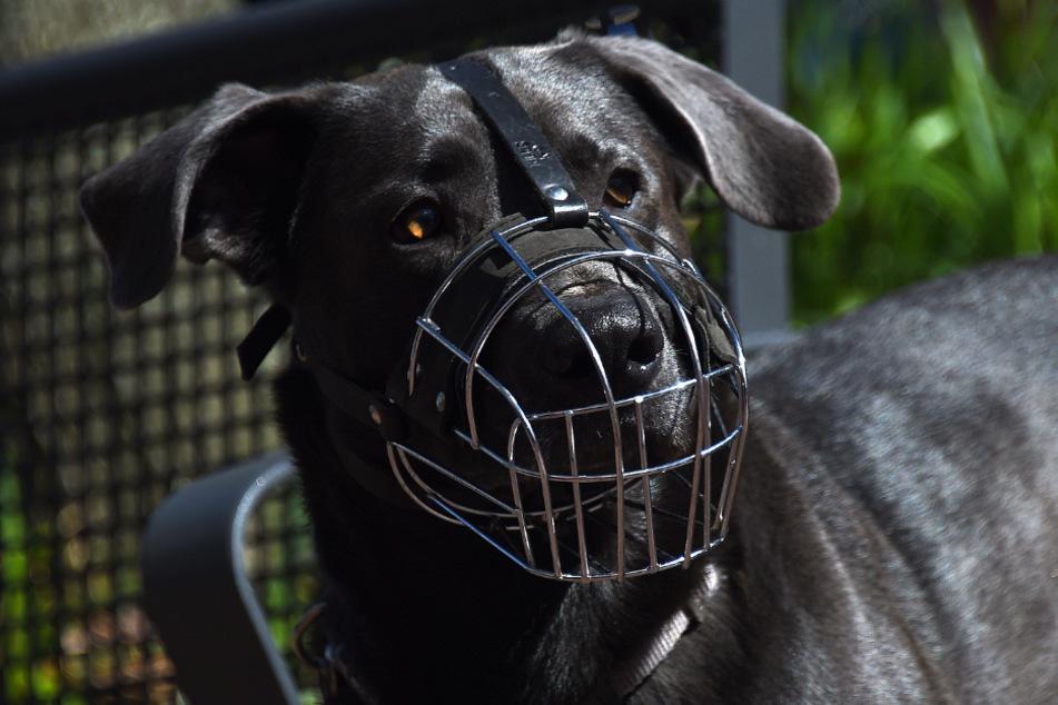 Angeleinter Hund reißt sich los und beißt spielendem Kind (3) ins Gesicht