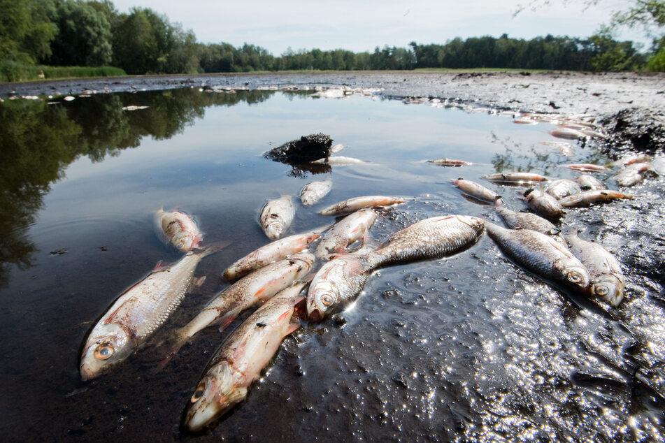 Hitze und Trockenheit können schnell zur Gefahr für Fische werden. (Symbolbild)