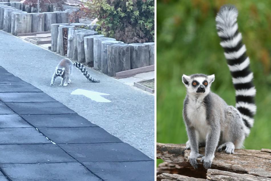 Maki (l.) machte einen Ausflug durch San Francisco. Lemuren sind durch ihr markantes Aussehen und ihre großen Augen leicht erkennbar.