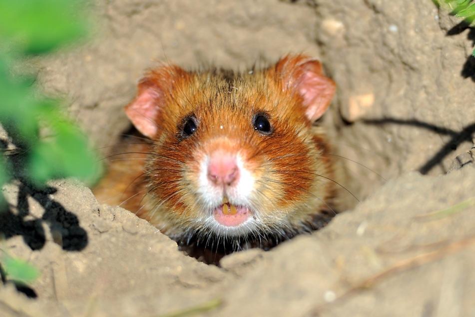 Die Hamster legen sich Wintervorräte an.